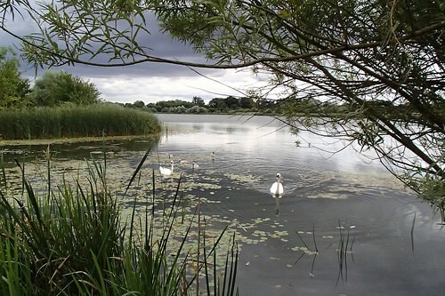 Lake and swans at Hinchingbrooke Country Park